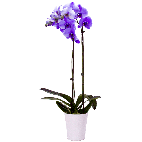 Cyma Orchids 5 Quot Lilac Phalaenopsis Orchid