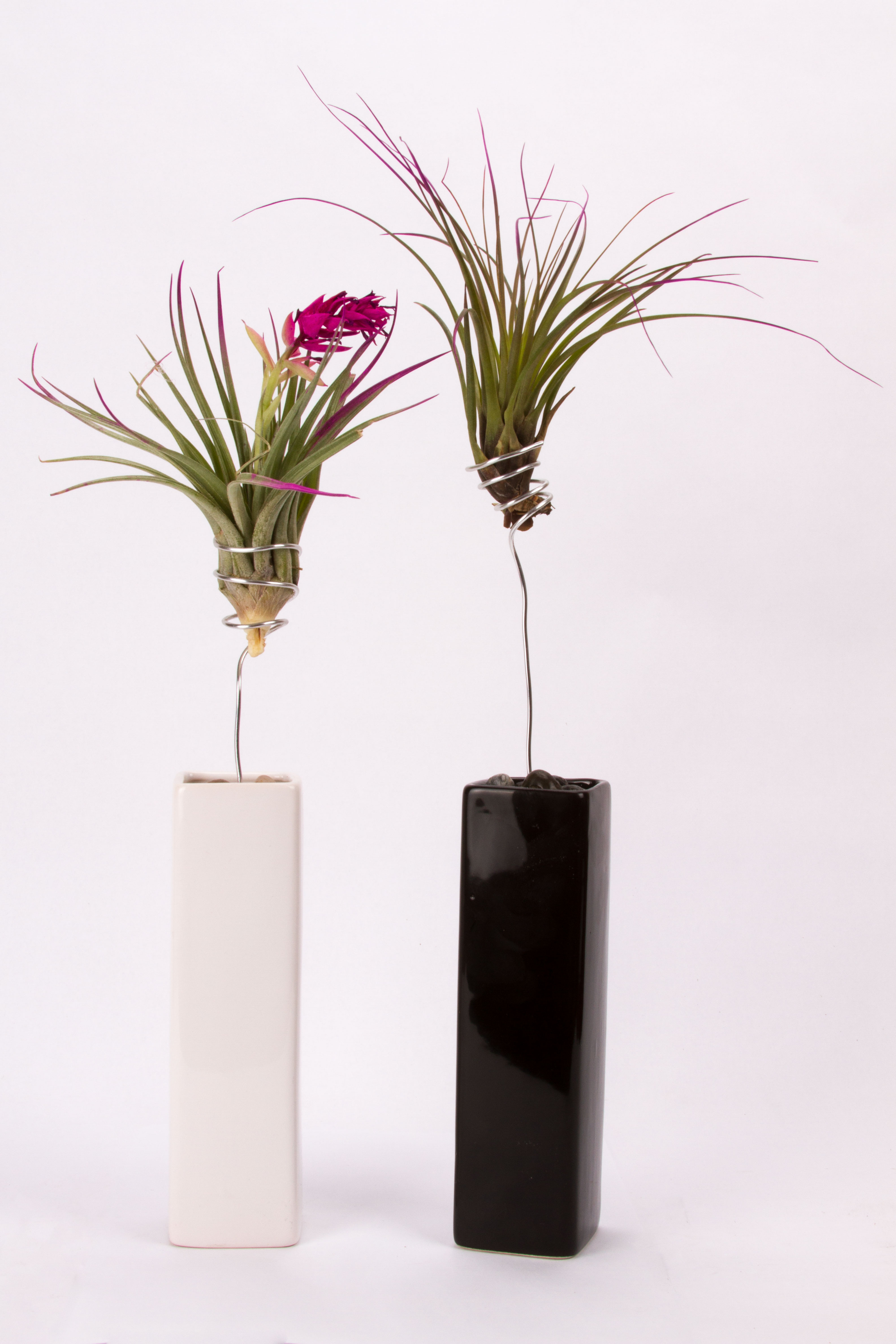 Cyma Orchids :: Deco Wire Air Plant