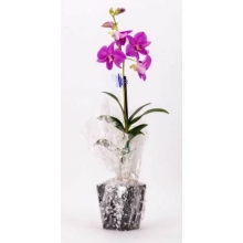 Cyma Orchids Orchids Farm